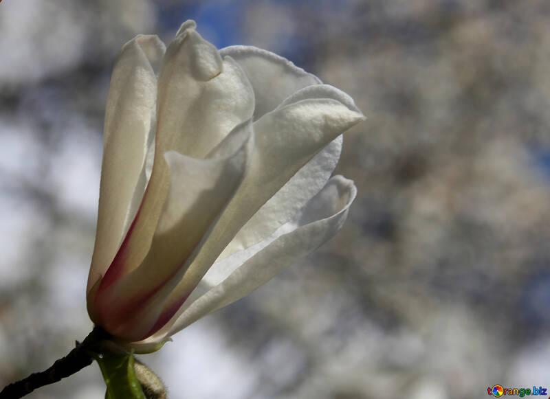 Magnolia de flores de primavera №39705