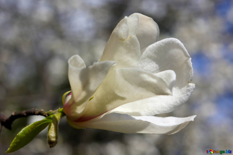 Flor de Magnolia grande №39698
