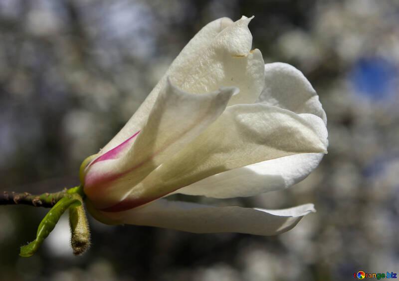 Flower bud magnolia tree №39696