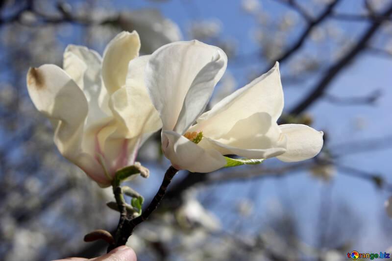 Hada de la flor de Magnolia №39717
