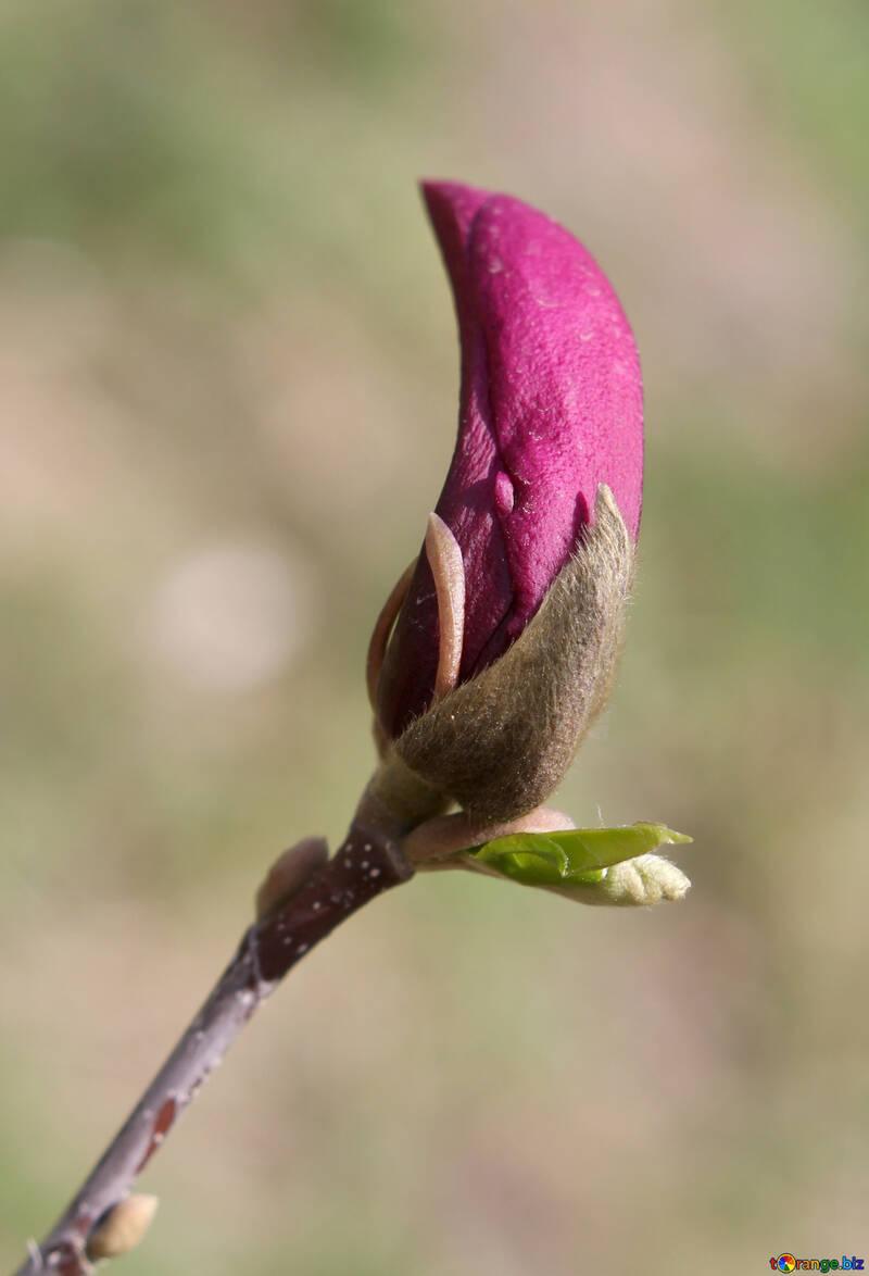 Magnolie Rosa №39747