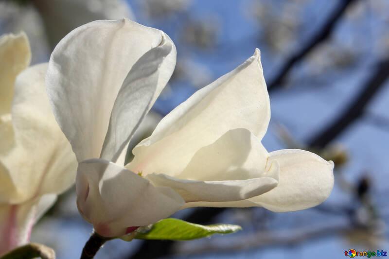 Magnolia de primavera №39716