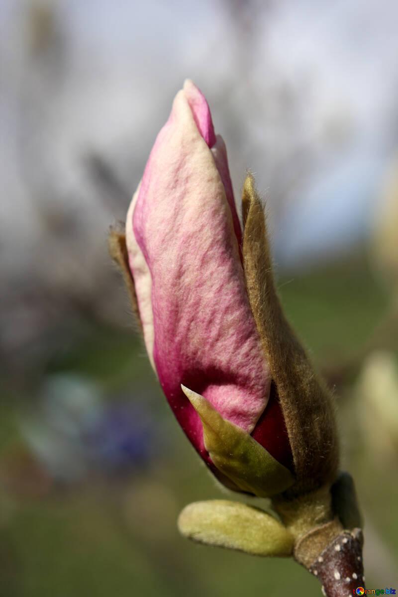 Весенний  цветок сказочной магнолии №39727