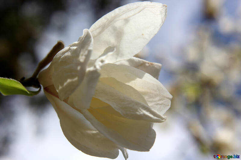 Дерево магнолия цветет №39691