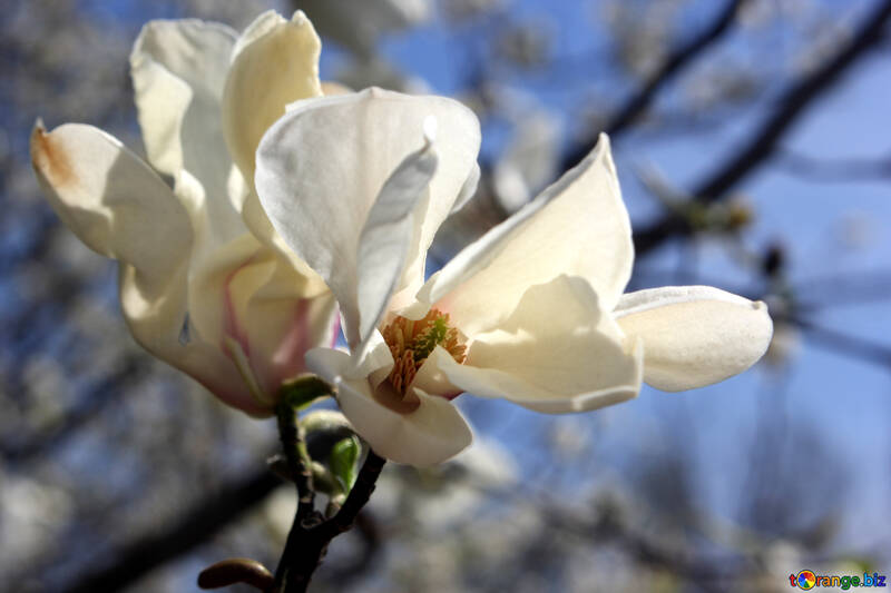 Бархатный цветок магнолии №39720