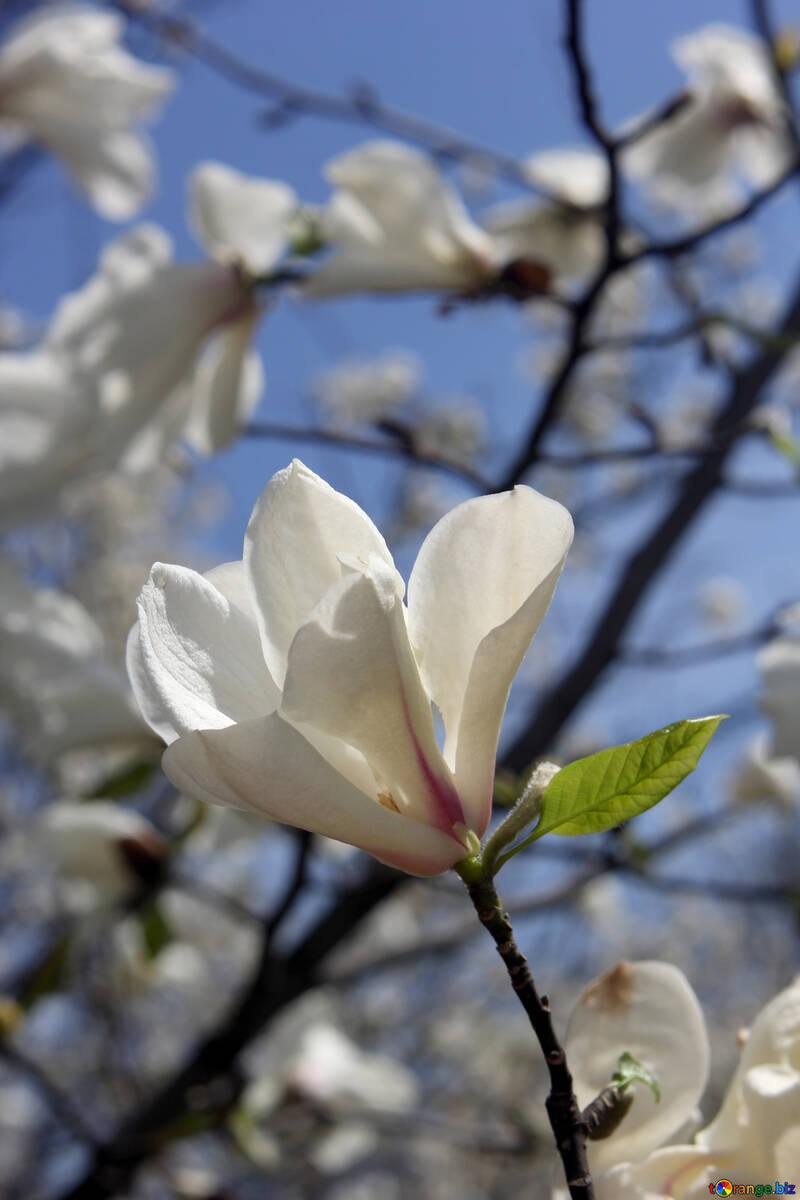 Weiße Magnolie Blumen im frühen Frühling №39713