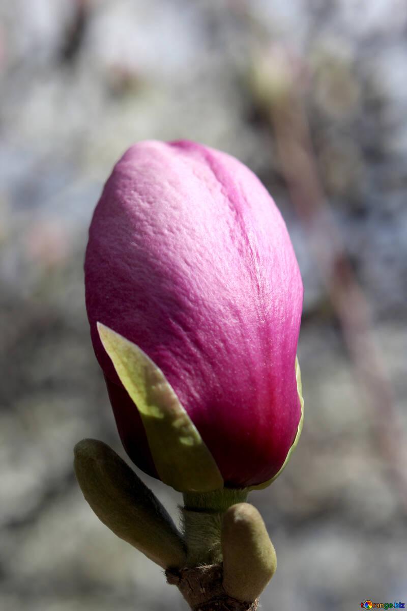 Rosa capullo de Magnolia №39739