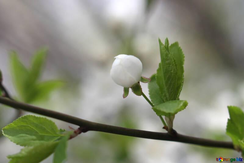 Flower bud cherry №39750