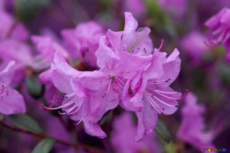 Lilac Rhododendron №39809