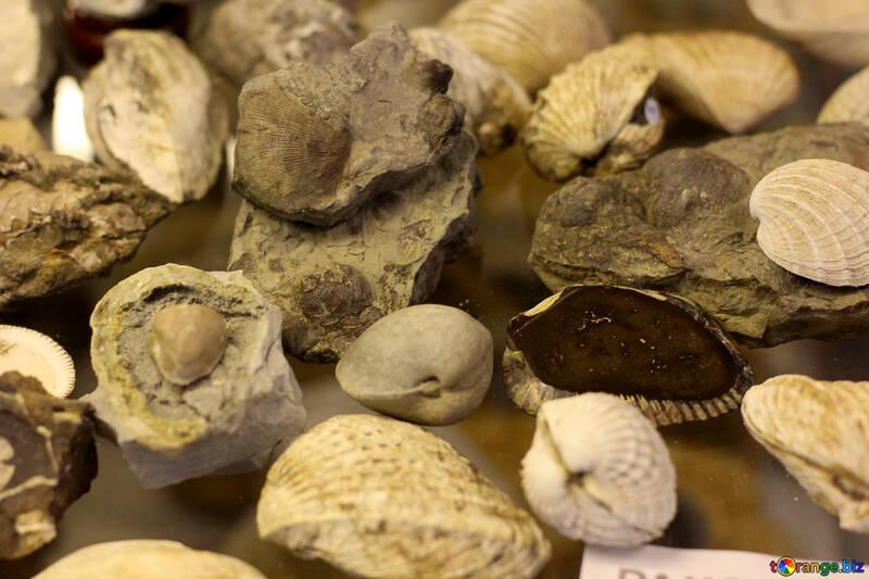 Conchas marinas antiguas №39413