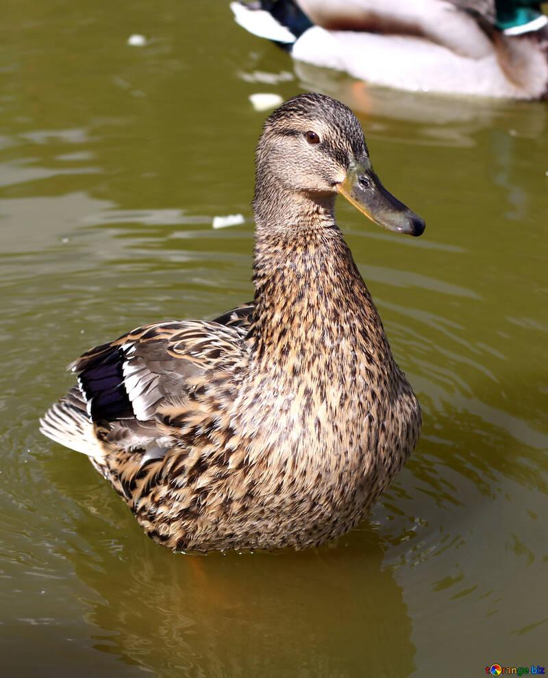 Beautiful wild duck №39674