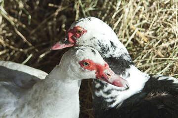 Ducks №4491