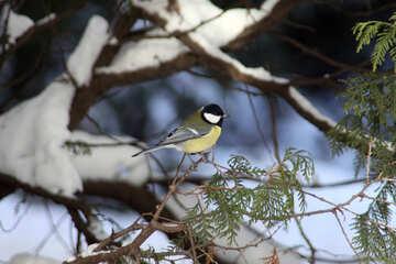 Bird chickadee - people are not afraid №4237