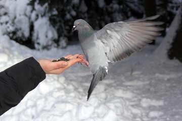 Dove  eats   palm №4180