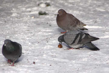 Pigeons snow №4183