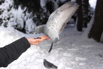 The bird takes food from hand №4178