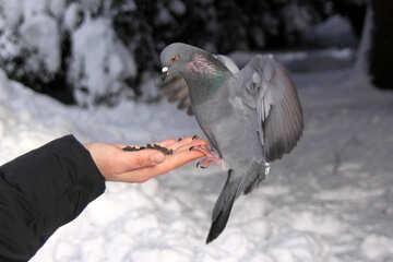 Wild  dove  ate   hands №4182