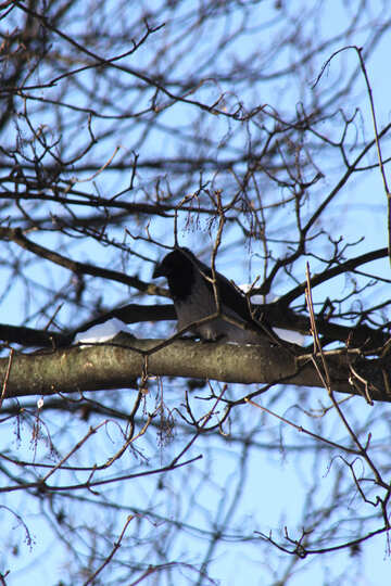 A crow sits on branch №4273