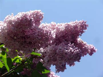 Lilac branch №4102