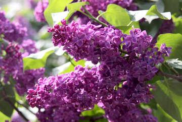 Lilac branch №4828