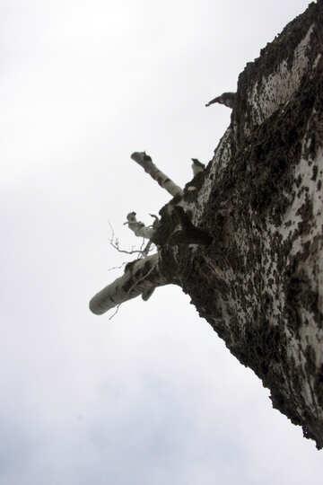Ein Baum ohne Niederlassungen. №4934