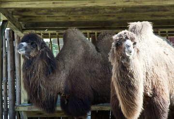 Camels №4672