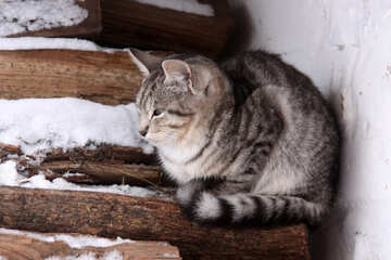 Gray kitten freezes in winter wood №4002