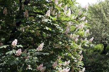 Chestnut blossom №4058