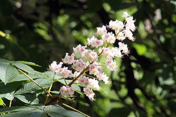 Chestnut flower №4055