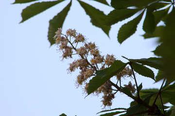 Fiore della castagna contro il cielo №4057