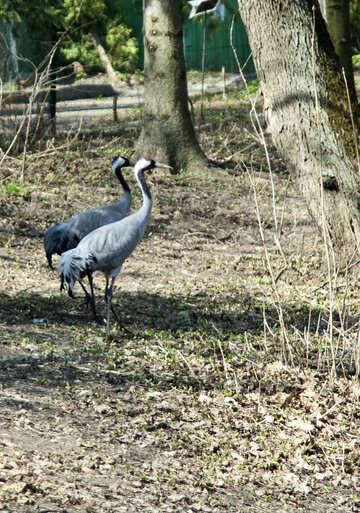 Common Crane. Cranes. №4607