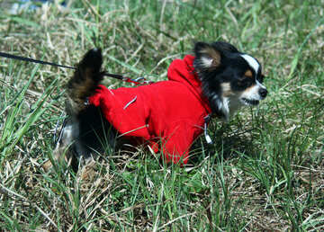 Chihuahua №4741
