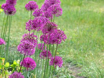 Decorative onions (Allium) №4124