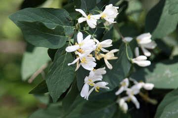 White flowers on bush №4760