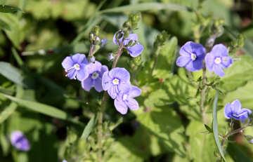 Blue field flower №4769