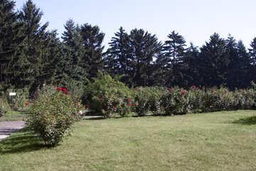 Hedge. №4221
