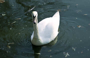 Swan №4581