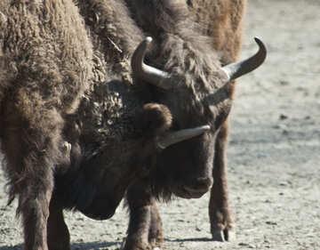 Bison №4641