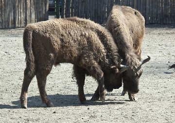 Bison fight №4642