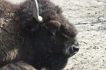 Bison from the Kiev zoo №4639