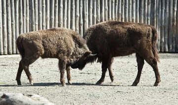 Fighting buffaloes №4645