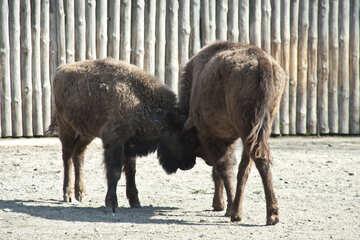 Male buffalo №4646