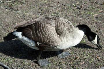 Wild duck №4585
