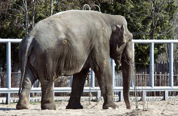 Asian elephant. Boy. Kyiv zoo. №4654