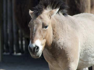 Przewalski`s Horse №4671