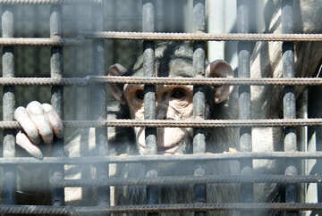 шимпанзе №4566