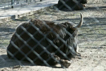Bison at the zoo №4636