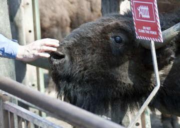 Man petting buffalo in zoo №4668