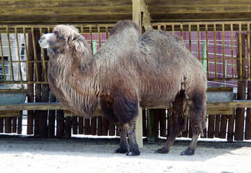 Camel from the Kiev zoo №4675