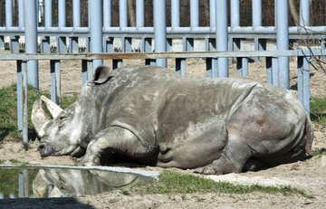 Rhinocéros №4628